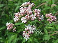 20150517Valeriana officinalis.jpg