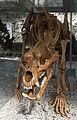 2015 Jaskinia Niedźwiedzia w Kletnie, szkielet niedźwiedzia jaskiniowego 04.JPG
