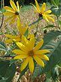 20160727Helianthus tuberosus4.jpg