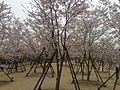2016 Shanghai Cherry Blossom Festival in Gucun Park.JPG