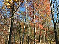 2017-11-23 13 07 42 Trees during late autumn along Stone Heather Drive near Stone Heather Court in the Franklin Farm section of Oak Hill, Fairfax County, Virginia.jpg