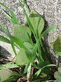 20170312Claytonia perfoliata1.jpg