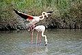 20170425 135 Camargue Flamingo (33654129873).jpg