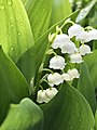 2020-04-29 10 00 07 Lily-of-the-valley flowers along Allness Lane in the Chantilly Highlands section of Oak Hill, Fairfax County, Virginia.jpg