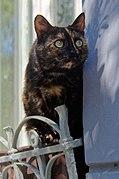 20200516 Kot w oknie mieszkania na Kazimierzu w Krakowie 1016 0004.jpg