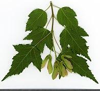 2020 year. Herbarium. Acer tataricum. img-026.jpg