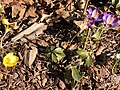 2021-03-03 14 58 10 Mutated yellow and normal purple Crocus tommasinianus blooming along Tranquility Court in the Franklin Farm section of Oak Hill, Fairfax County, Virginia.jpg