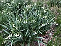 2021-04-05 18 53 26 Summer Snowflakes blooming along a stream in a wooded area within the Franklin Glen section of Chantilly, Fairfax County, Virginia.jpg