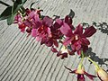 3905Orchids in the Philippines 03.jpg