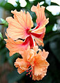 3936 - Chinesischer Roseneibisch (Hibiscus rosa-sinensis).JPG