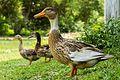 3 Duck.jpg