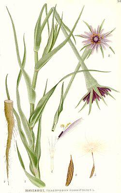 549 Tragopogon porrifolius.jpg