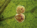8-Protopulvinaria-pyriformis-Coccidae-Credit-Giuseppina-Pellizzari.png