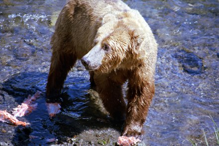 Alaskan grizzly in Katmai National Park with partially eaten salmon - the heads, skin and subcutaneous tissue are eaten to obtain the most fat A054, Katmai National Park, Brooks Falls, Alaska, USA, bear and salmon, 2002.jpg