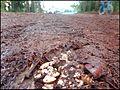 A Lille Marrons d'Inde toxiques écrasés toxic Common Horse Chestnut 04.jpg
