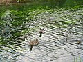 A Mallard Duck and Ducklings on the Wendover Arm of the Grand Union Canal - geograph.org.uk - 1356795.jpg