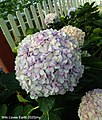 A close-up on Hydrangeas at Cameron Lavender Garden.jpg