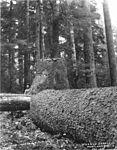 A felled spruce on the Oregon coast (3492732934).jpg