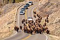 A group of bison walk along the road towards Lamar Valley with cars following behind them (46933690515).jpg