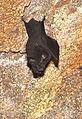 A horseshoe bat (Rhinolophus sp.) (20231660165).jpg