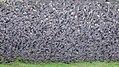 A large number of starlings (Sturnus vulgaris) take wings.jpg