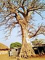 A misery Baobab tree.jpg