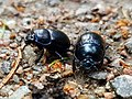 A pair of Anoplotrupes stercorosus.jpg