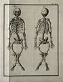 A rachitic skeleton, measuring two feet two inches in length Wellcome V0007817.jpg
