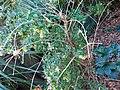 Abelia X Grandiflora 4.jpg