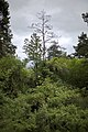 Abgestorbene Kiefer in Hecke, Löchle, Naturschutzgebiet Gültlinger und Holzbronner Heiden.jpg