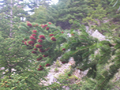 Abies cephalonica cones.png