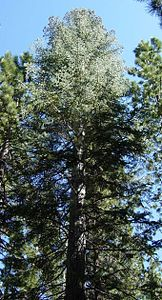 Abies concolor Yosemite NP.jpg