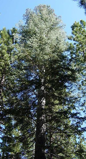Abies concolor - Sierra Nevada white fir  in Yosemite National Park