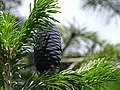 Abies pindrow India6.jpg