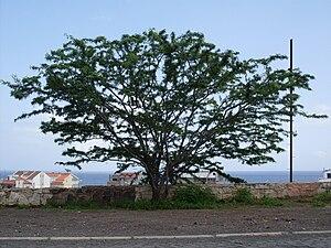 Wildlife of Cape Verde - Acacia tree