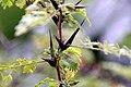 Acacia cornigera 5zz.jpg