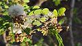 Acacia mellifera subsp. detinens12.jpg