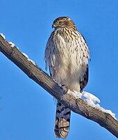 Cooper S Hawk Wikipedia