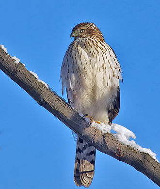 Cooper's hawk - Immature Cooper's hawk in winter