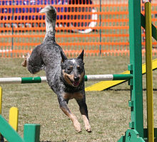 Ein Hund springt über ein grün-weißes Hindernis auf den Fotografen zu, der Körper ist langgestreckt und die Rute hoch erhoben