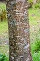 Acer cappadocicum in Hackfalls Arboretum (1).jpg