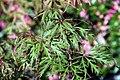 Acer palmatum Oshu shidare 0zz.jpg