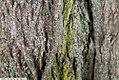 Acer platanoides 9zz.jpg