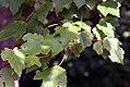 Acer rubrum 30zz.jpg
