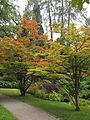 Acer sieboldianum Munich Botanic gardens.JPG