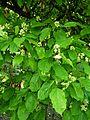 Acer tataricum arboretum Breuil 3.jpg