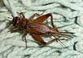 Acheta domesticus^ Gryllidae. Female - Flickr - gailhampshire.jpg