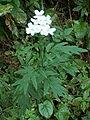 Achillea macrophylla07.jpg