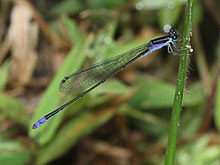 Aciagrion approximans krishna male (14).jpg