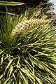Aciphylla aurea kz2.jpg